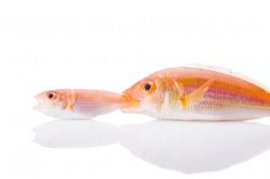 Fish gangs.